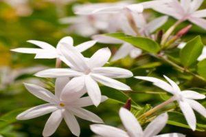 Amazing Aphrodisiacs flowers